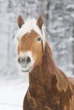 Haflinger im Schnee Photographie stock