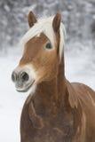 Haflinger im Schnee Image stock