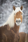 Haflinger im Schnee Royalty Free Stock Photography