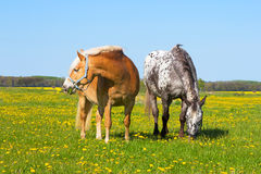 Haflinger and Knabstupper horse on a meadow. Stock Photos