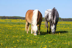 Haflinger and Knabstupper horse on a meadow. Stock Images
