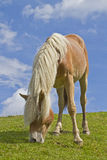 Haflinger koń zdjęcia royalty free