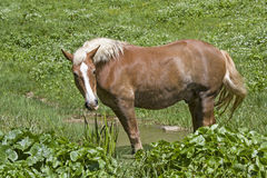 Haflinger koń na halnej łące zdjęcia stock