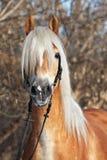 Haflinger koń w zim drewnach zdjęcia royalty free