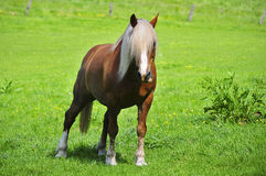 Haflinger with long hair Royalty Free Stock Images