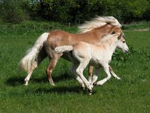 Beautiful Mare and Foal Royalty Free Stock Photos