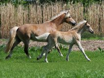 Beautiful Mare and Foal Stock Images