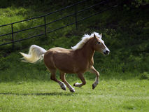 Haflinger mare Royalty Free Stock Photography