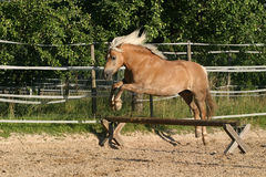 Haflinger mare jumping. Haflinger horse (mare) jumping over a low set bar royalty free stock photography