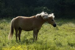 Haflinger on the meadow. A Haflinger horse tries to get rid of the flyes and other insects. To keep the insects away the horse shakes its long mane Royalty Free Stock Images