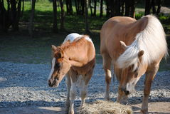 Haflinger and NASH foal Stock Photo