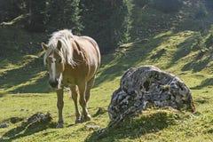 Haflinger no luminoso foto de stock royalty free