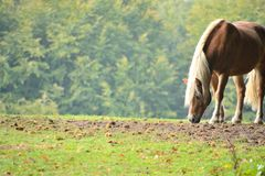 Haflinger palomino eating in a meadow full of chestnut. On a tre stock images