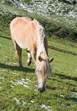 Haflinger Pferd lizenzfreies stockfoto