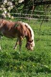 Haflinger Pferd lizenzfreie stockfotos