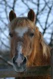 Haflinger Pferd Lizenzfreie Stockfotografie