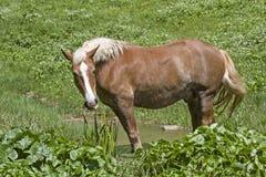 Haflinger-Pferd auf Bergwiese stockfotos