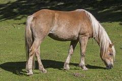 Haflinger-Pferd auf einer Bergwiese stockfotos