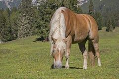 Haflinger-Pferd auf einer Bergwiese stockbilder