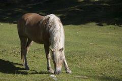 Haflinger-Pferd auf einer Bergwiese lizenzfreies stockfoto