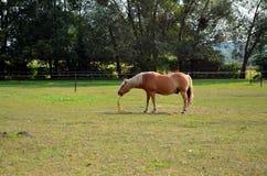 Haflinger-Pferd, das auf der Wiese weiden lässt stockbilder