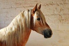 Haflinger-Pferd, das im Stall stillsteht Stockfotos