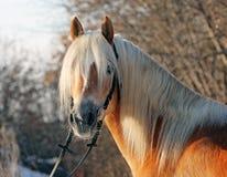 Haflinger-Pferd in der Wintersonne Stockbilder