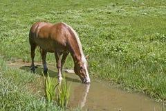 Haflinger-Pferd in einem Bach stockbild
