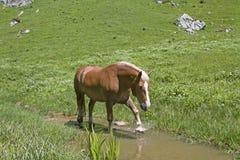 Haflinger-Pferd im Bach lizenzfreies stockfoto