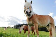 Haflinger-Pferde auf der Wiese lizenzfreie stockbilder