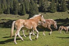 Haflinger-Pferde auf einer Bergwiese lizenzfreie stockfotos