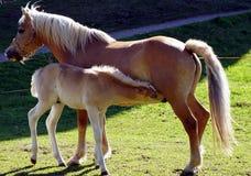 Haflinger-Pferde lizenzfreies stockbild