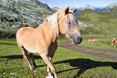 Haflinger Pferdennahaufnahme lizenzfreies stockfoto