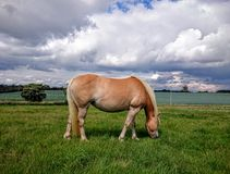 Haflinger ponny Royaltyfri Fotografi