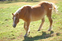 Haflinger Pony Royalty Free Stock Images