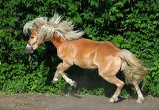 Haflinger pony adult kicking Royalty Free Stock Images