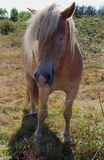 Haflinger pony in a field Royalty Free Stock Image