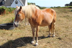Haflinger pony in a field Royalty Free Stock Photos