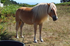 Haflinger pony in a field Royalty Free Stock Photo