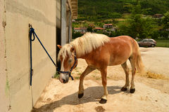 Haflinger pony Royalty Free Stock Photography