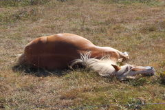 Haflinger pony lying down in a field Royalty Free Stock Photos