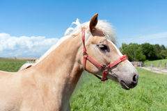 Haflinger Royalty Free Stock Images