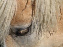 Haflinger's eye Stock Images