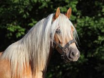 Haflinger, sorrel pony, portrait against summer green bushes. Haflinger sorrel horse with long mane. Portrait of bay stallion in a farm. Austria Stock Photo