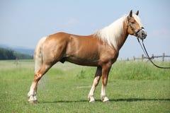 Haflinger stallion Stock Photography