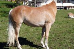 Haflinger trakenu konie w St Catarine, Po?udniowy Tirol, W?ochy zdjęcie stock