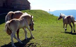 Haflinger trakenu konie w St Catarine, Po?udniowy Tirol, W?ochy fotografia stock