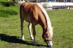 Haflinger trakenu konie w St Catarine, Po?udniowy Tirol, W?ochy zdjęcie royalty free