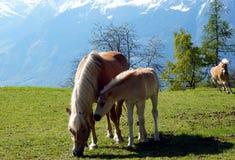 Haflinger trakenu konie w St Catarine, Po?udniowy Tirol, W?ochy obrazy royalty free