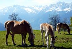 Haflinger trakenu konie w St Catarine, Po?udniowy Tirol, W?ochy fotografia royalty free